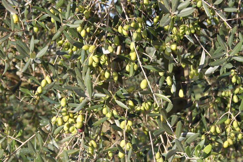 Olive dell'agriturismo casale degli ulivi