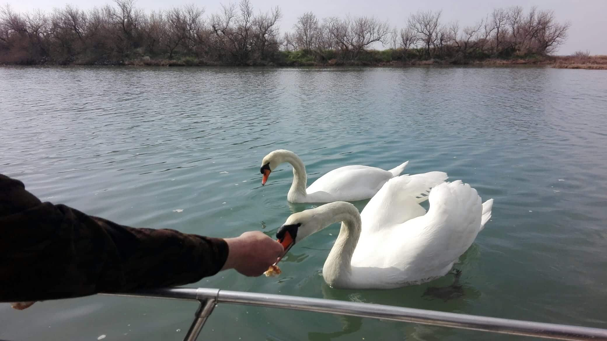 Cigni nella laguna di Grado
